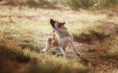 Natürliche Hausmittel gegen Flöhe beim Hund