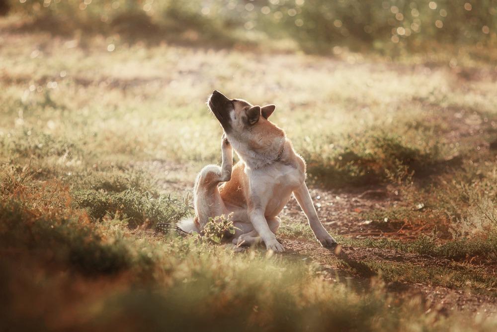 Flöhe beim Hund bekämpfen
