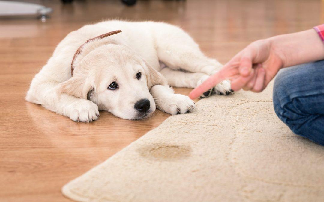 Blasenentzündung beim Hund