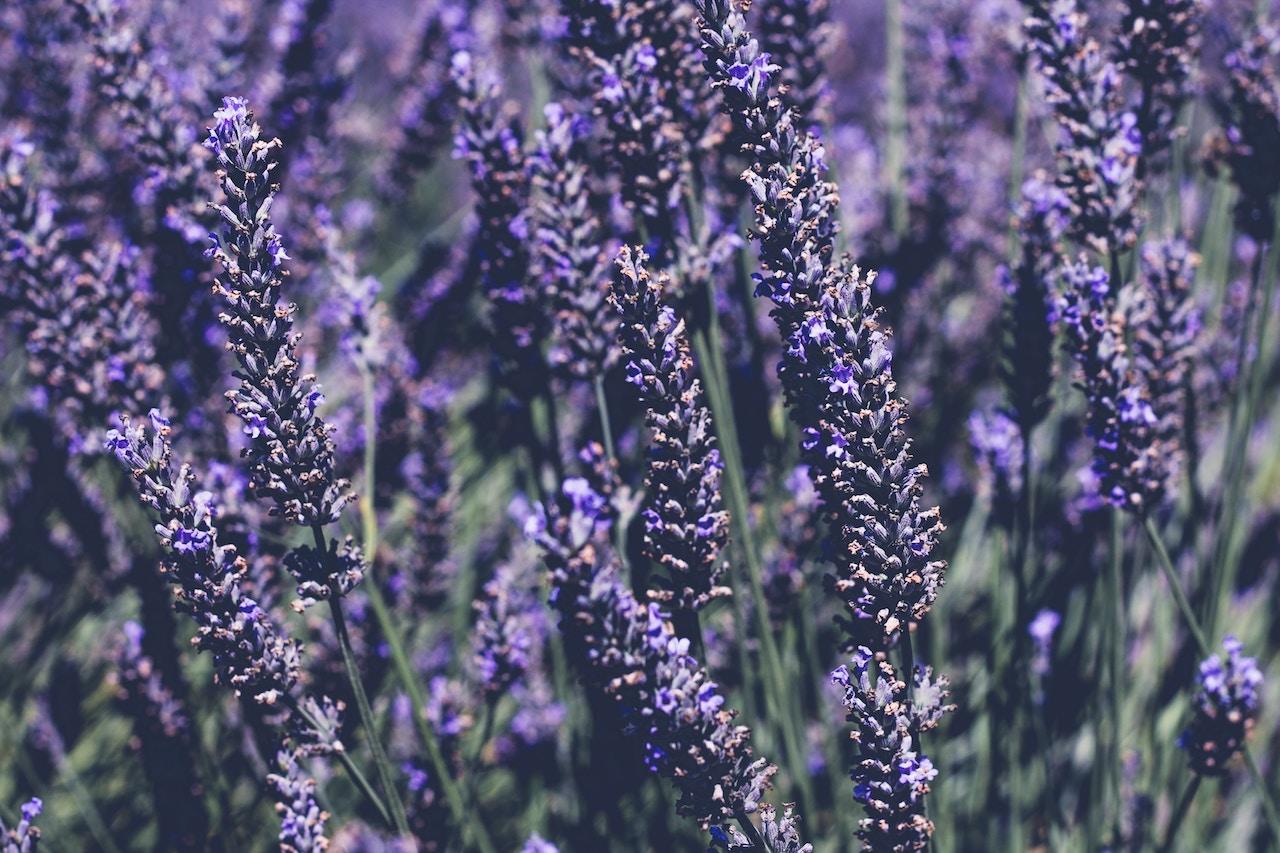 Lavendel für Hunde