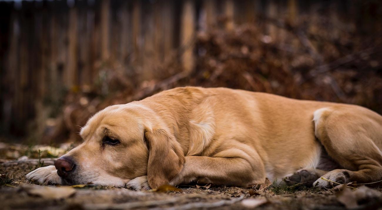Hund mit Darmkrankheit