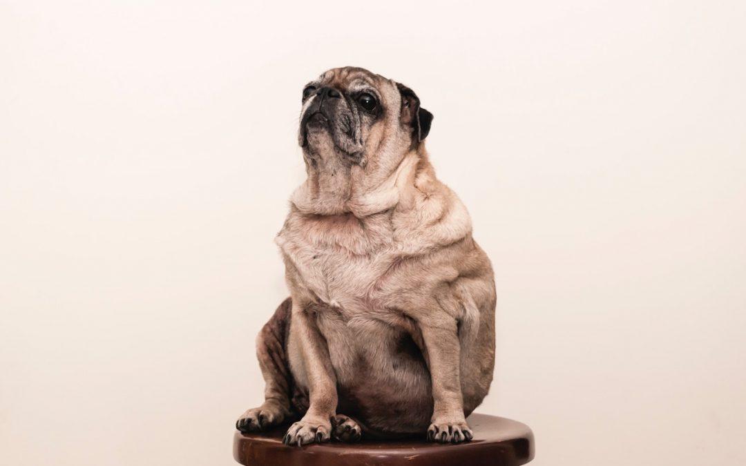 Übergewicht beim Hund erkennen und bekämpfen