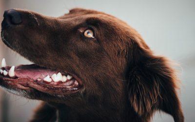 Zahnhygiene für den Hund