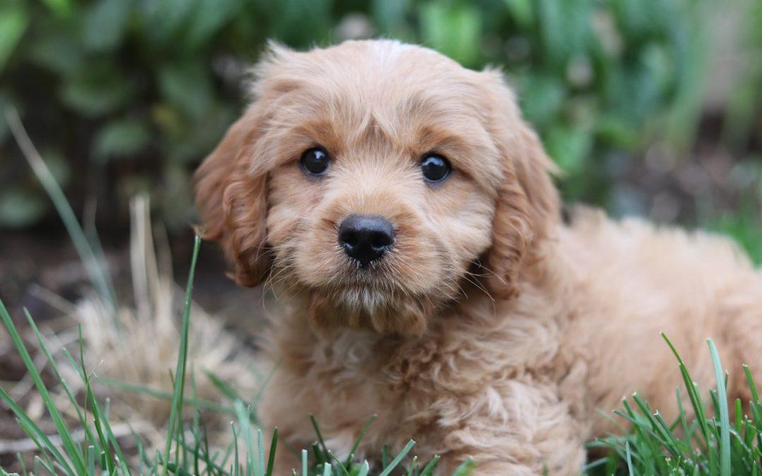Haarausfall bei Hunden